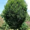 European hornbeam (Carpinus betulus 'Fastigiata')