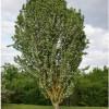 Oriental Hornbeam (Carpinus orientalis)
