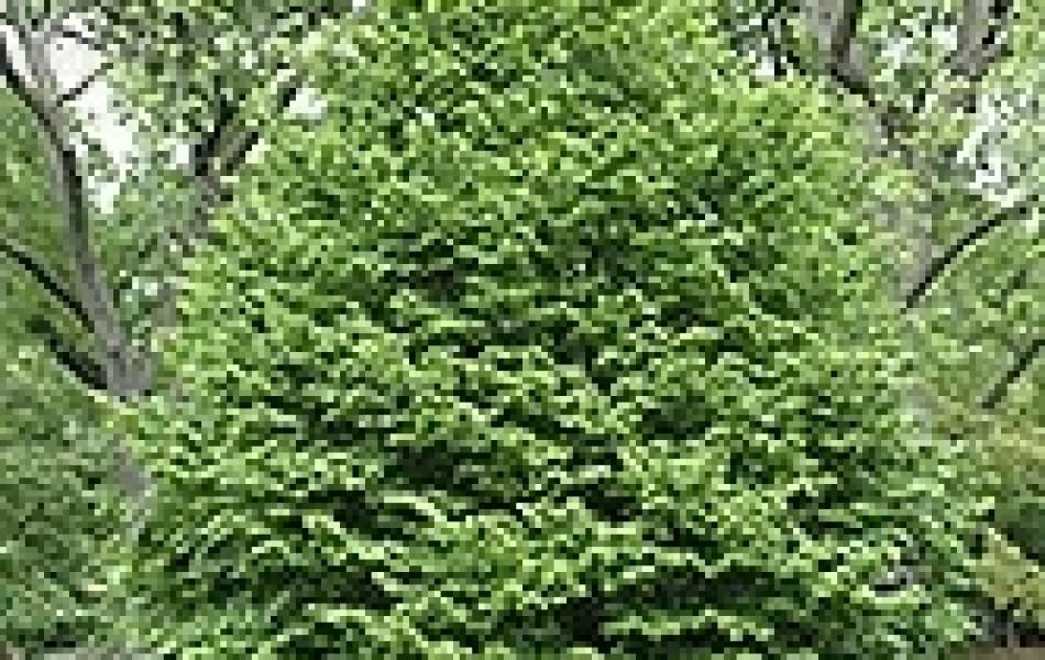 Hawthorn Berry 'Tahi' (Cratægus pinnatifida 'Tahi')