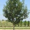 Field maple 'Elsrijk' (Acer campestre 'Elsrijk')