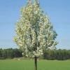 Callery pear (Pyrus calleryana 'Chanticleer')