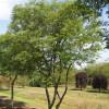 Juneberry (Amelanchier lamarckii)