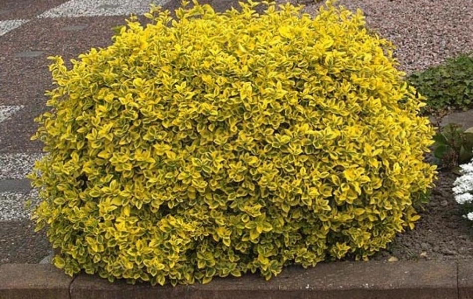 Euonymus fortunei 'Emerald'n Gold' (Euonymus fortunei 'Emerald'n Gold')