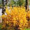 Forsythia (Forsythia x intermedia 'Minigold')