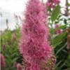 Spiraea (Spiraea × billardii)