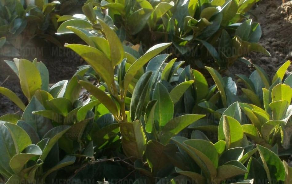 cherry laurel (Prunus laurocerasus 'Piri')