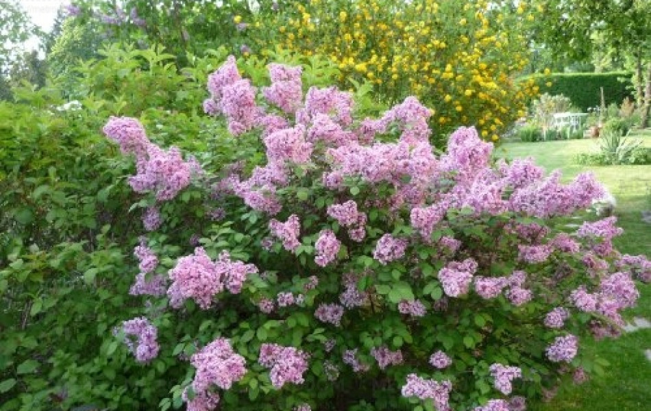 Meyer lilac (Syringa meyeri 'Palibin')