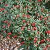 Cotoneaster salicifolius 'Herbstfeuer'
