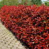 Photinia 'Little Red Robin' (Photinia × fraseri 'Little Red Robin')