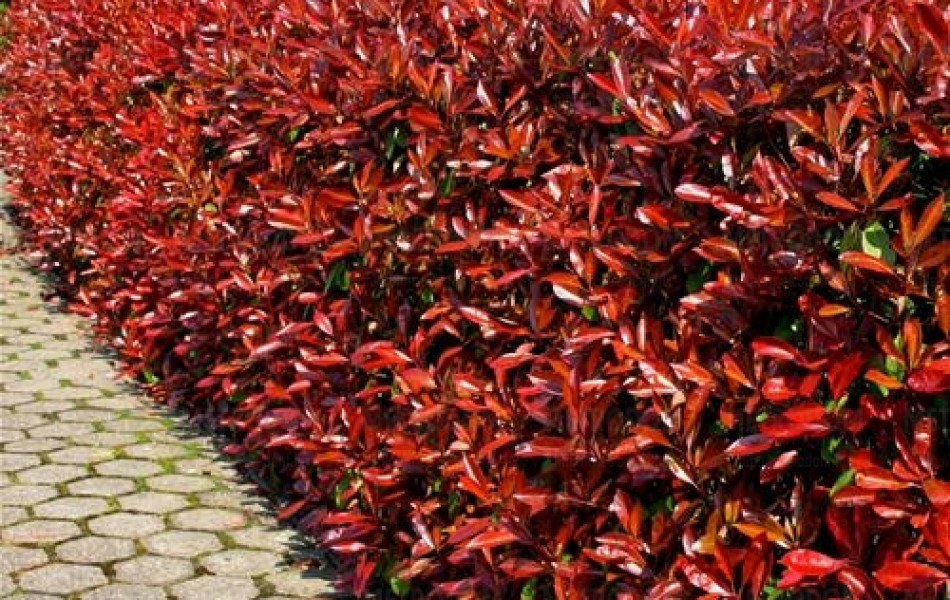 Photinia 'Little Red Robin' (Photinia × fraseri 'Little Red Robin')